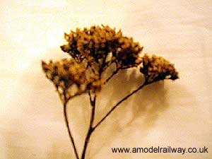 sprig of yarrow